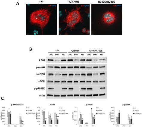 Activity-independent targeting of mTOR to lysosomes in